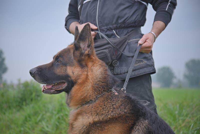 德国牧羊犬狗在皮带以前保持由驯狗师 免版税库存照片