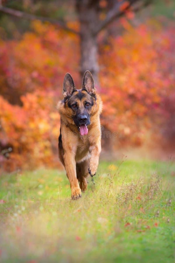 德国牧羊犬狗奔跑 免版税库存图片