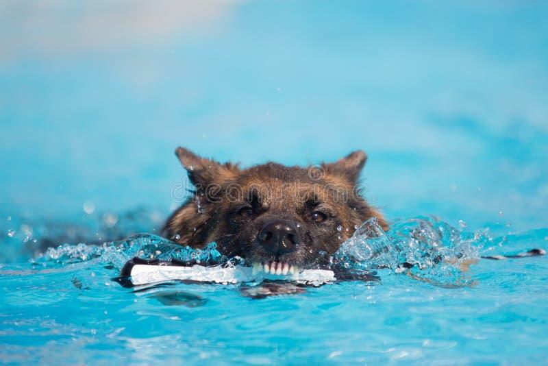 德国牧羊犬狗尖酸的玩具在水中 免版税库存图片