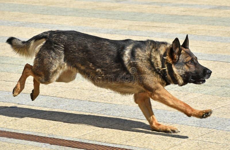 德国牧羊犬狗跑室外 免版税库存图片