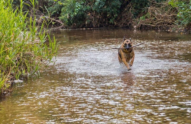 德国牧羊犬狗,当跑在河时 免版税库存照片