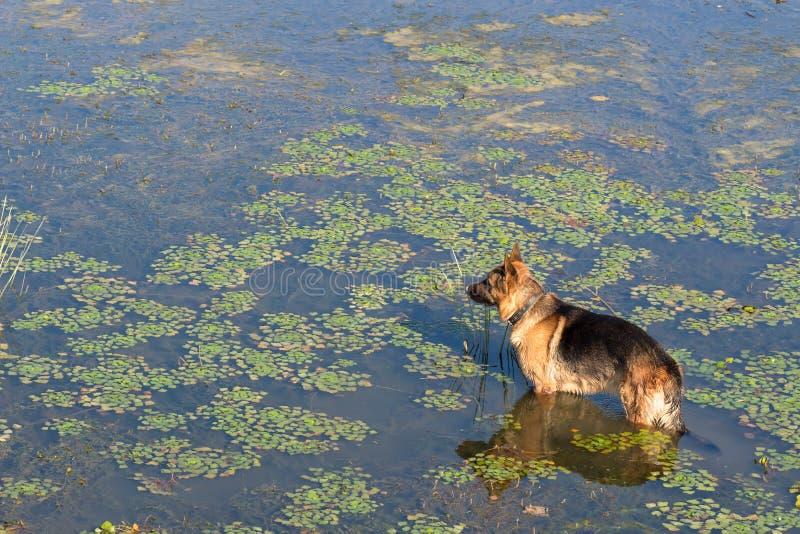 德国牧羊犬狗(东欧护羊狗)站立入湖水并且调查距离 免版税库存图片