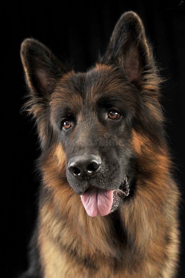 德国牧羊犬狗画象在黑演播室 免版税库存图片