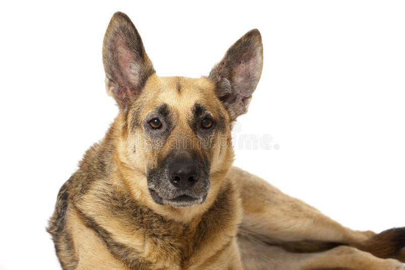 Download 德国牧羊犬狗 库存图片. 图片 包括有 前面, 背包, 逗人喜爱, 耳朵, 牧羊人, 保险开关, 户内, 毛茸 - 30326225