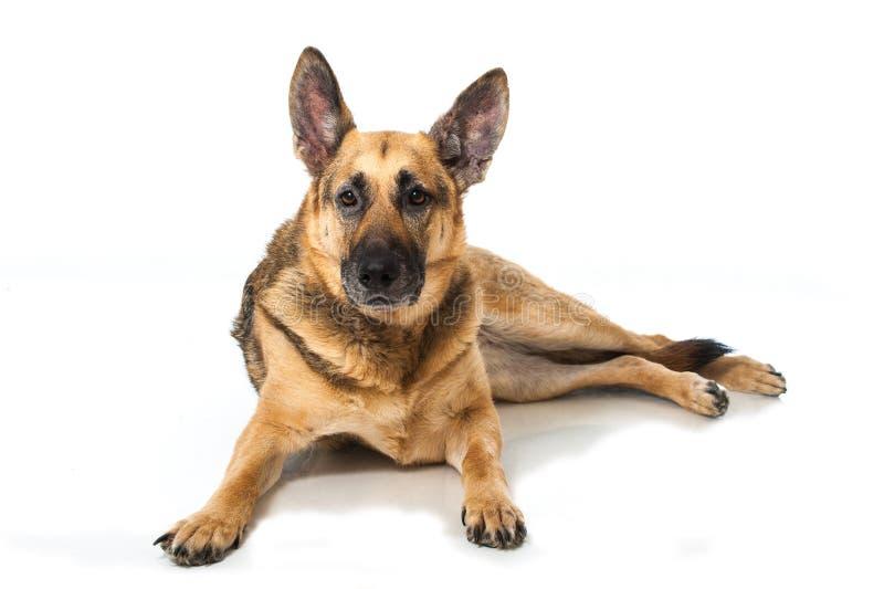 Download 德国牧羊犬狗 库存照片. 图片 包括有 似犬, 纵向, 气喘, 射击, 照相机, 题头, 生物, 保险开关 - 30326230