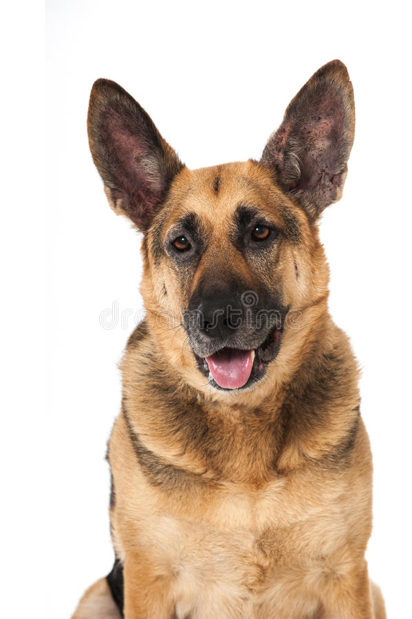 Download 德国牧羊犬狗 库存图片. 图片 包括有 耳朵, 敬慕, 逗人喜爱, 毛皮, pedicured, 生物, 照相机 - 30326349