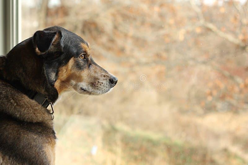 德国牧羊犬看窗口的混合狗 免版税库存图片