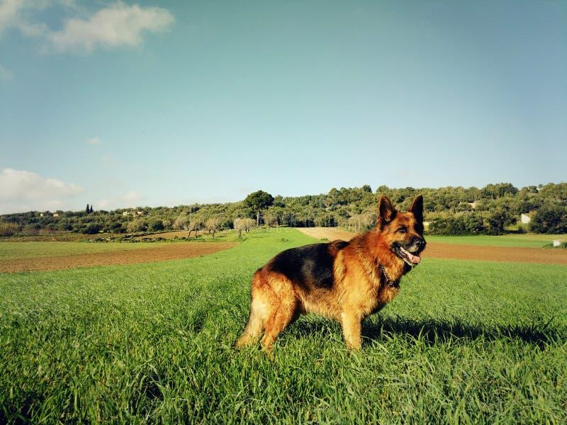 德国牧羊犬短发 图库摄影