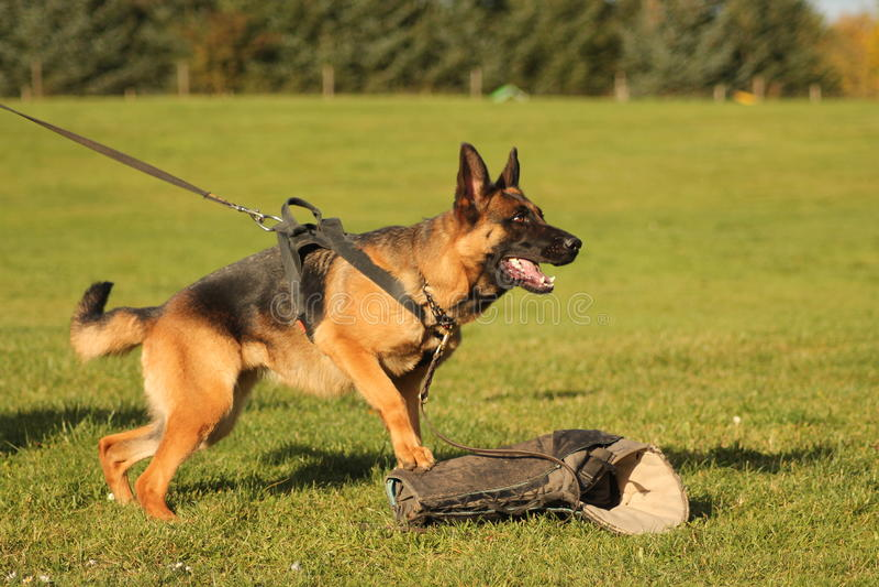 德国牧羊犬训练 库存照片