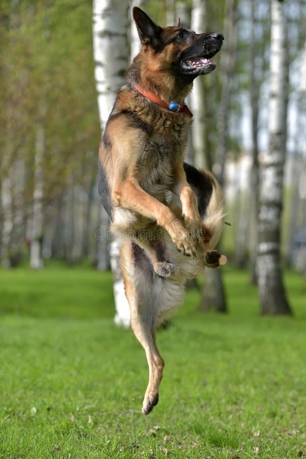 德国牧羊犬跳高 图库摄影