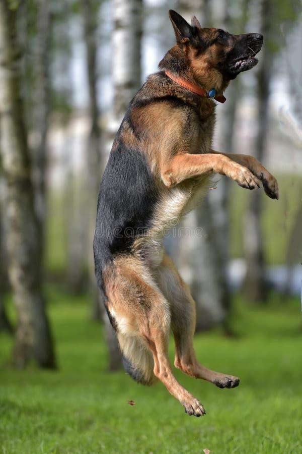 德国牧羊犬跳高 库存照片