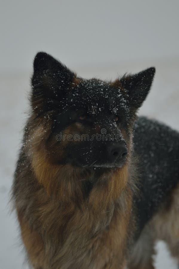 德国牧羊犬雪 免版税库存照片