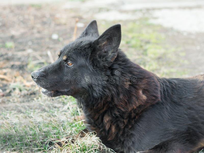 德国牧羊犬画象黑颜色的在春天庭院 免版税库存照片