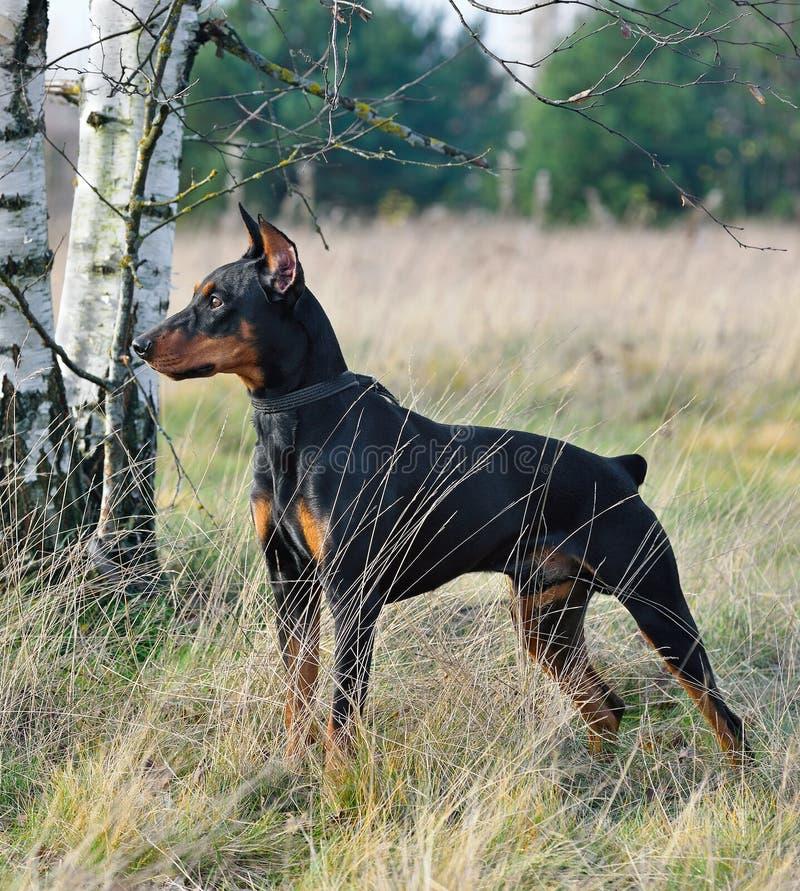 德国犬 库存图片