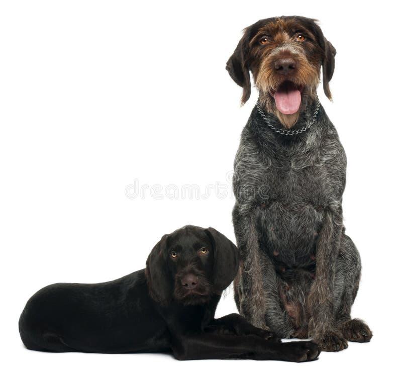 德国短毛指针小狗,3个月,坐在白色背景和6岁前面 免版税图库摄影