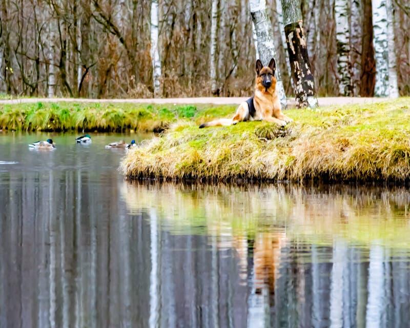 德国老牧羊人 在一个池塘的背景的画象有鸭子的 免版税库存图片