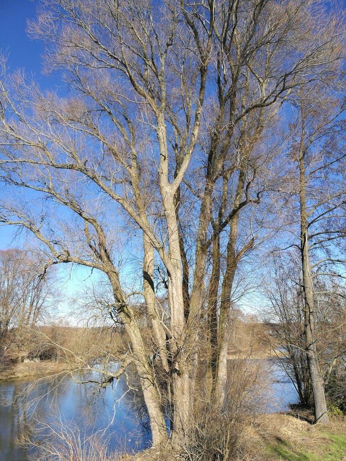 德国萨克森州佐保谷裸树 图库摄影