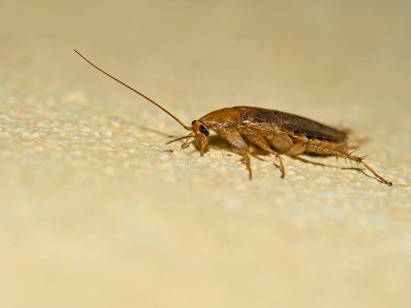德国蟑螂,在黄色墙壁上的滔滔不绝germanica,外形 M 免版税库存照片