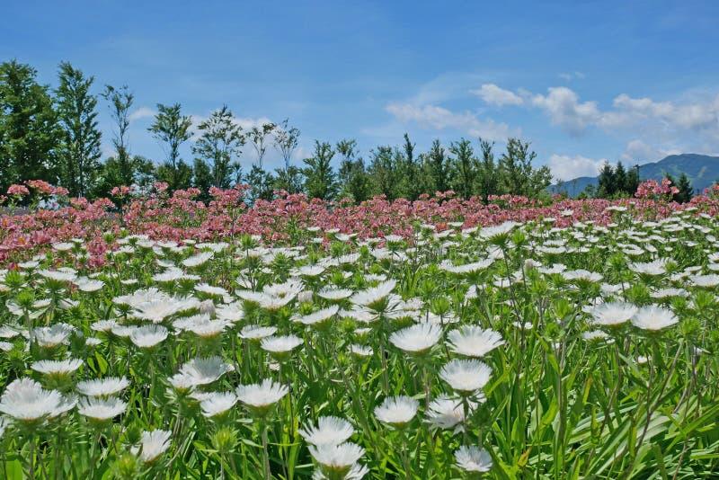 德国锥脚形酒杯和紫苑花园  库存图片