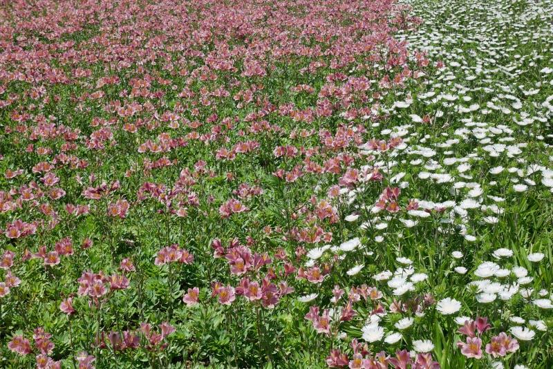 德国锥脚形酒杯和紫苑花园  免版税图库摄影