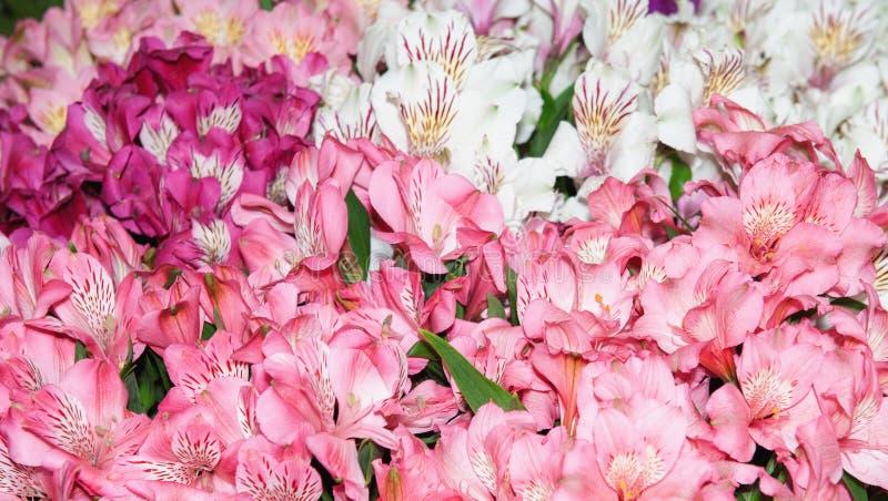 德国锥脚形酒杯是多彩多姿pink-red和多斑点的 背景花园福禄考工厂 免版税库存照片