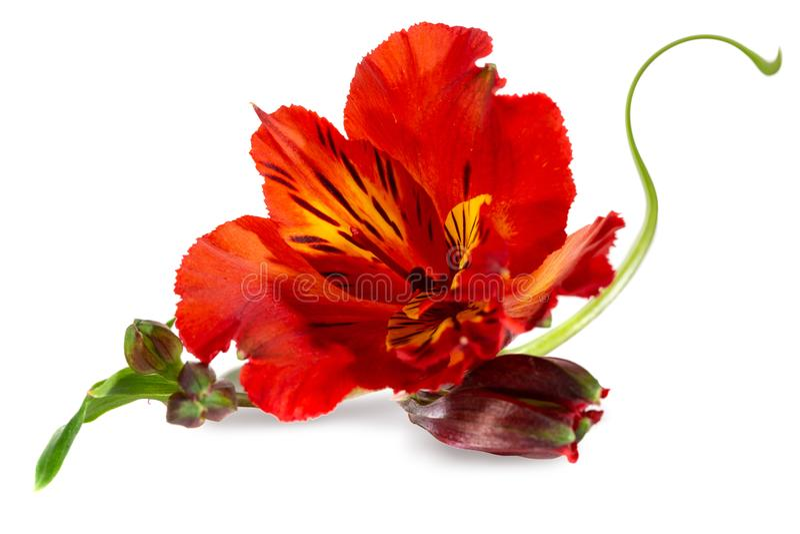 德国锥脚形酒杯美丽的红色花在白色背景的 免版税库存图片