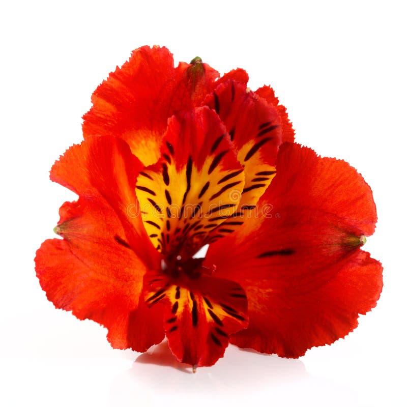 德国锥脚形酒杯美丽的红色花在白色背景的 免版税图库摄影