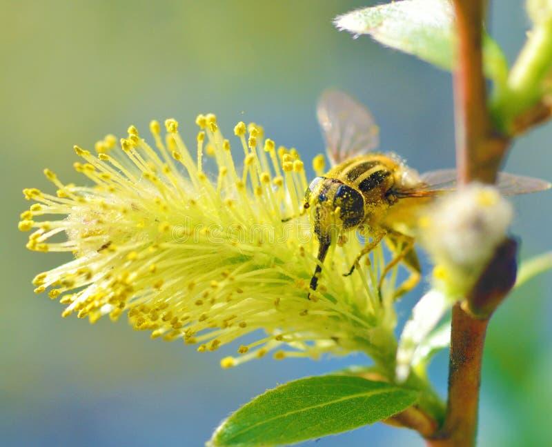 德国黄蜂从植物收集花粉 库存图片