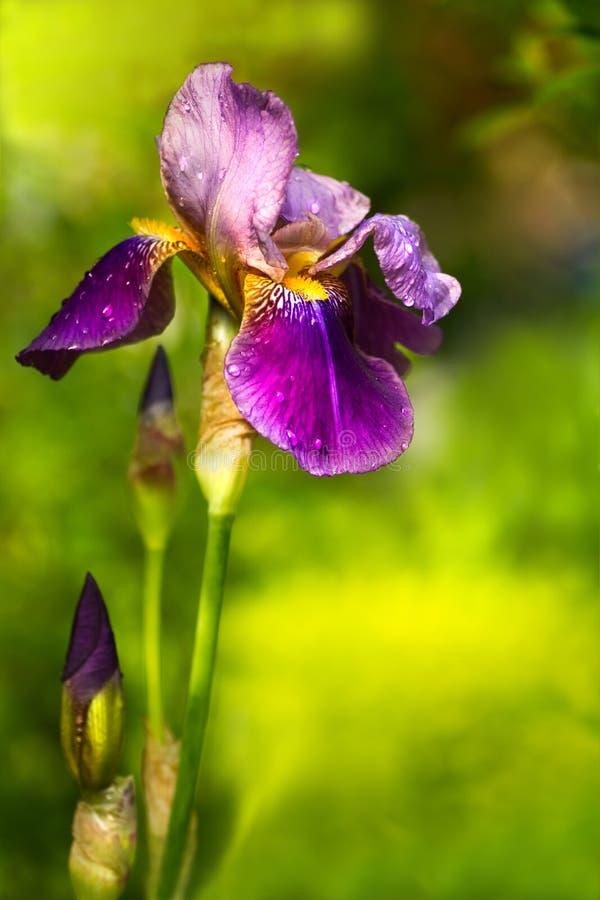 德国germanica虹膜紫色 免版税库存图片