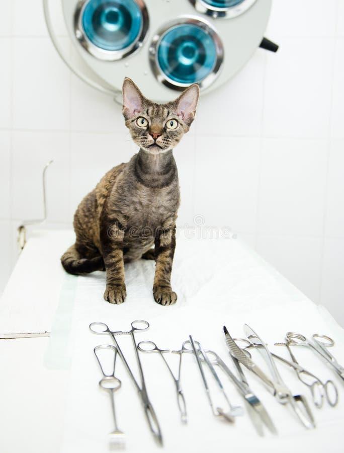 德文郡在兽医诊所的rex猫在医疗工具附近 库存照片