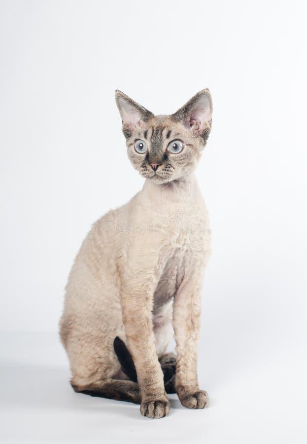 德文郡在白色背景的rex猫 免版税库存图片