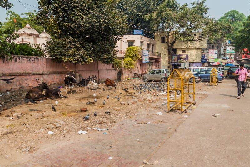德里,印度- 2016年10月23日:几头母牛在德里,伊恩迪的中心 库存图片