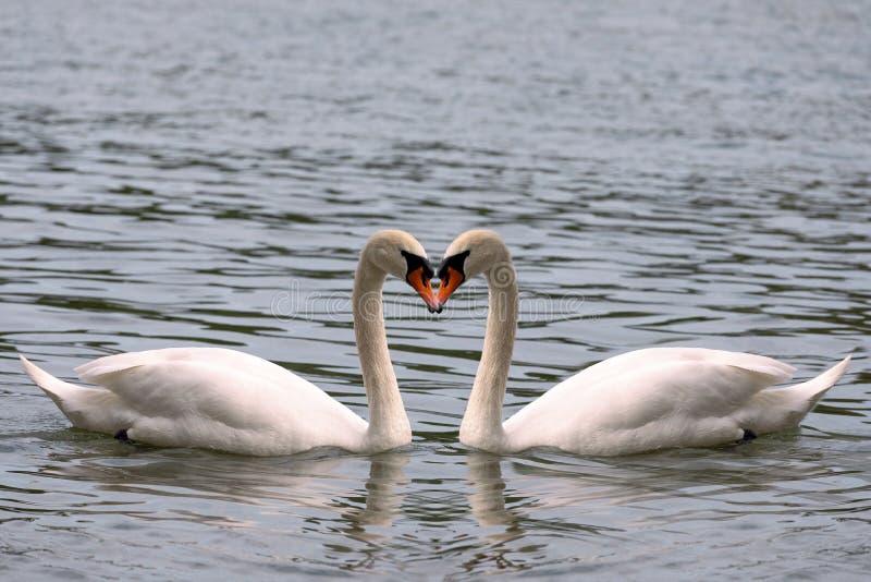 心形从两只白色天鹅的脖子的爱标志 对称,真实的爱,秀丽本质上 库存图片