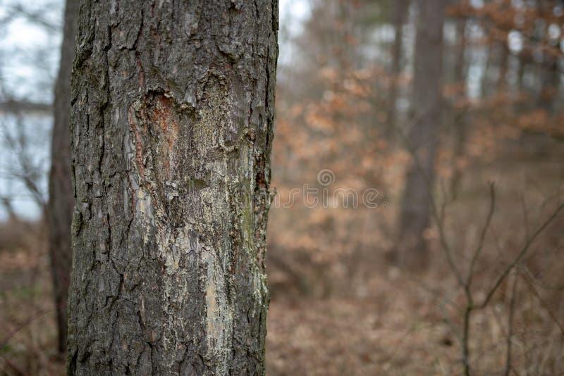心形在树干切开了 剥落吠声和针叶树的针叶树 免版税图库摄影