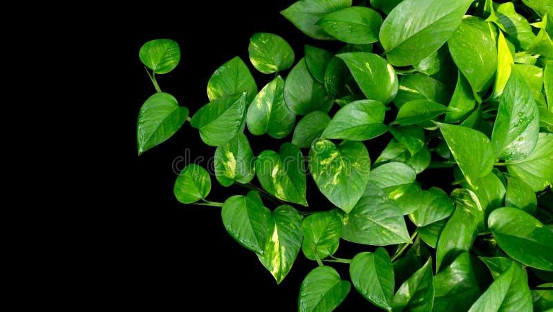 心形的叶子藤,金黄pothos在b的常绿藤本植物aureum 库存图片