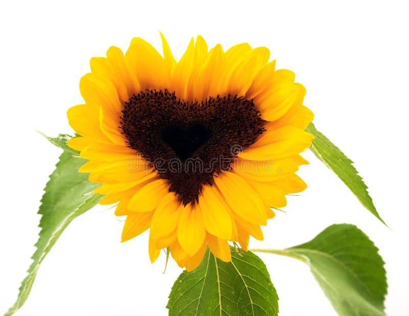 心形的向日葵 免版税图库摄影