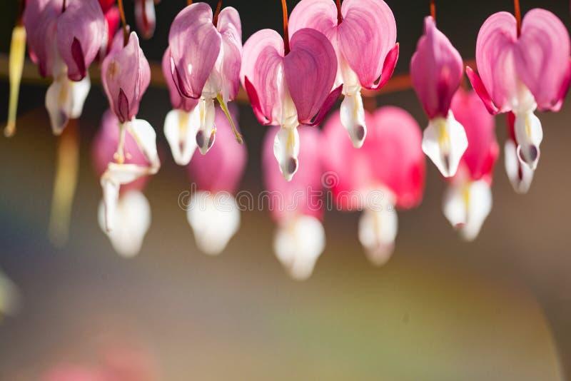 心形的心脏出血花桃红色和白色软的焦点在s 图库摄影