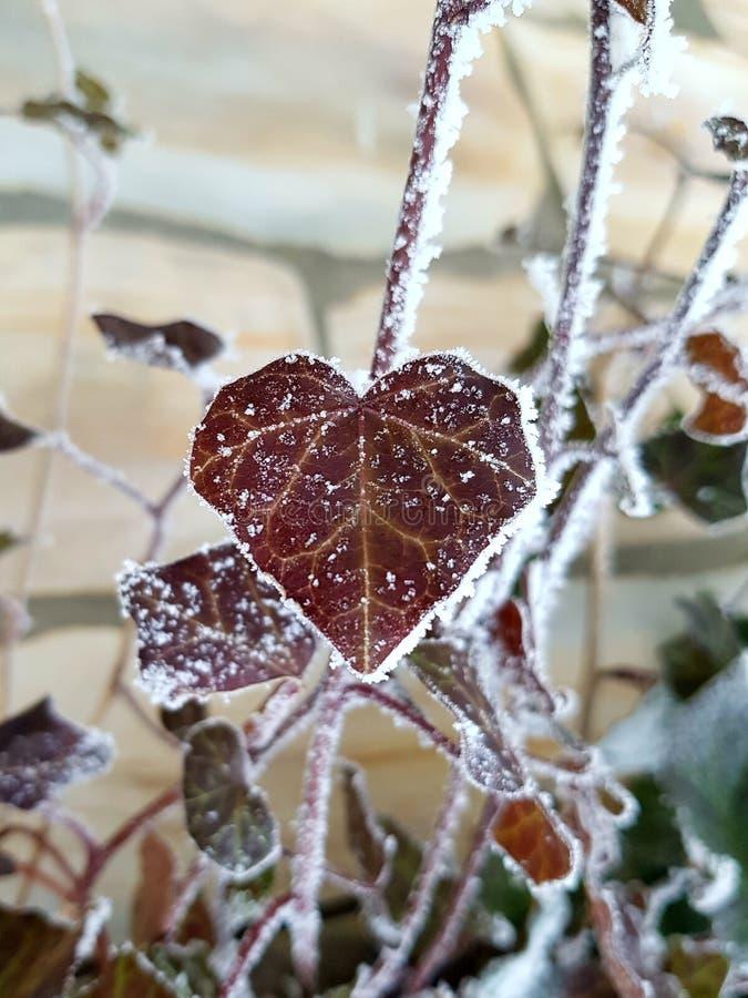 心形的结冰的叶子 库存照片