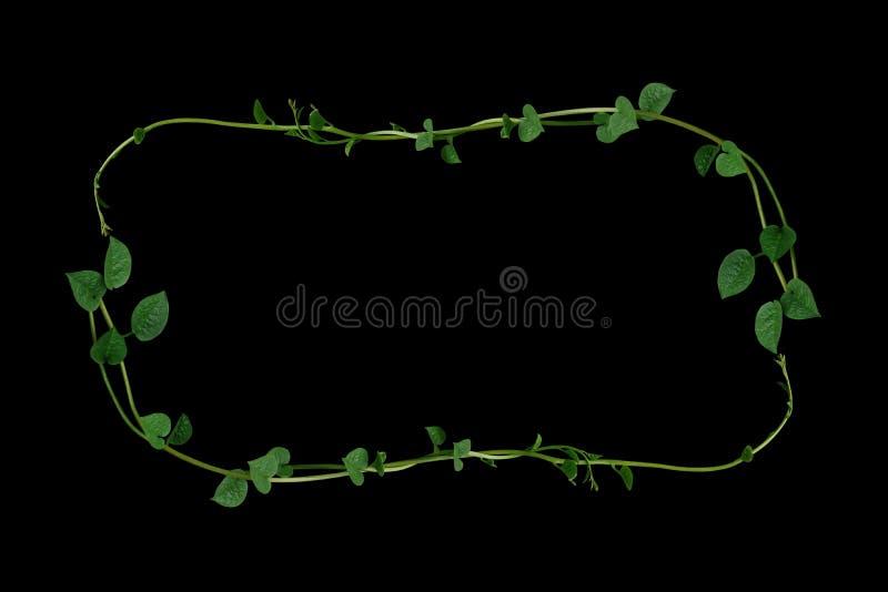 心形的绿色多汁植物离开攀缘藤本植物自然马拉巴菠菜或爬行藤菠菜巴塞利亚框架布局  库存图片
