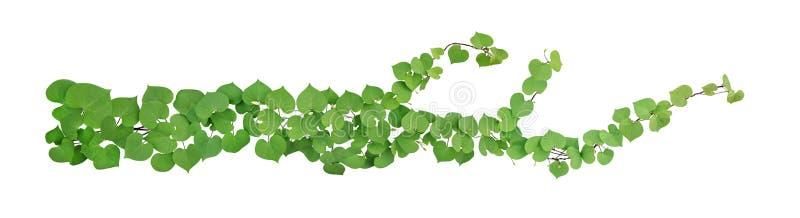 心形的绿色离开与被隔绝的芽花攀缘藤本热带植物在白色背景,包括的裁减路线 免版税库存图片