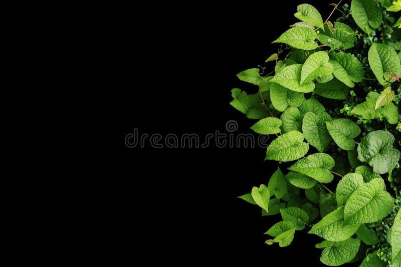 心形的绿色留下野生藤,热带森林植物  免版税库存图片