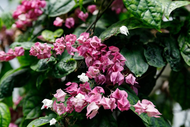 心脏出血藤桃红色花,也叫非洲Clerodendrum thomsoniae的流血的荣耀凉亭 免版税库存图片