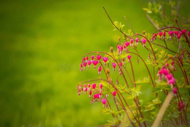 心脏出血,荷包牡丹属植物spectabilis 在绿色背景的心脏出血分支 花森林春天白色 心形的桃红色和白花 免版税库存图片