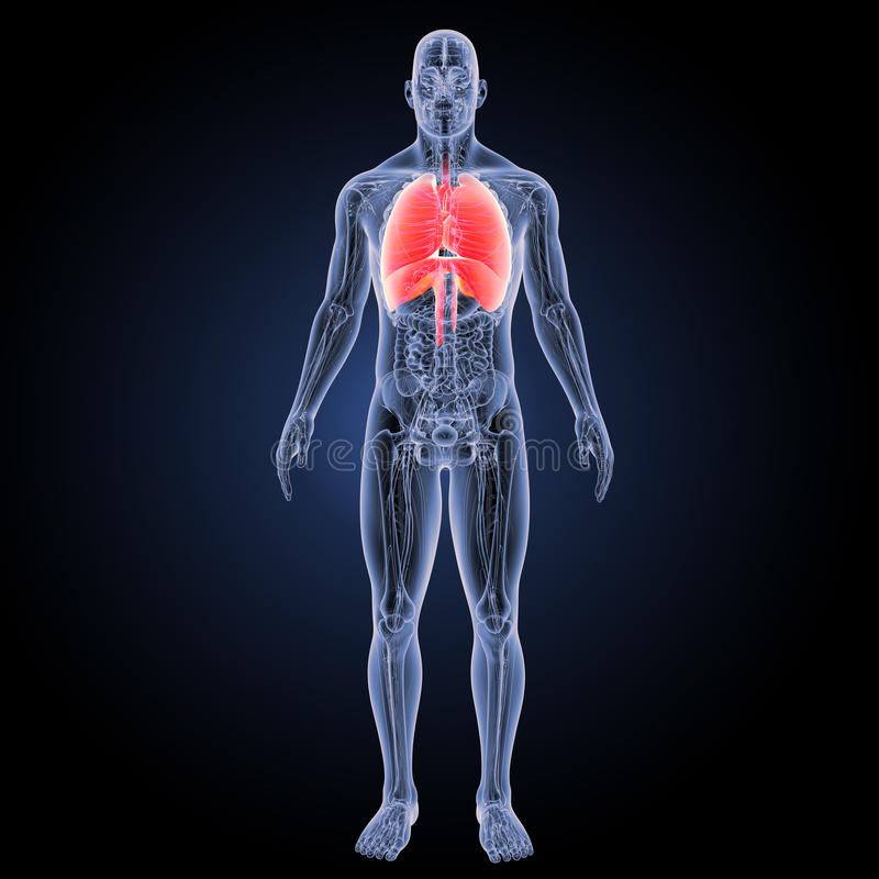 心脏和呼吸系统有解剖学先前视图 向量例证