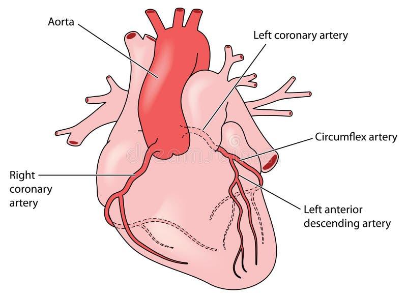 心脏的冠状动脉 皇族释放例证