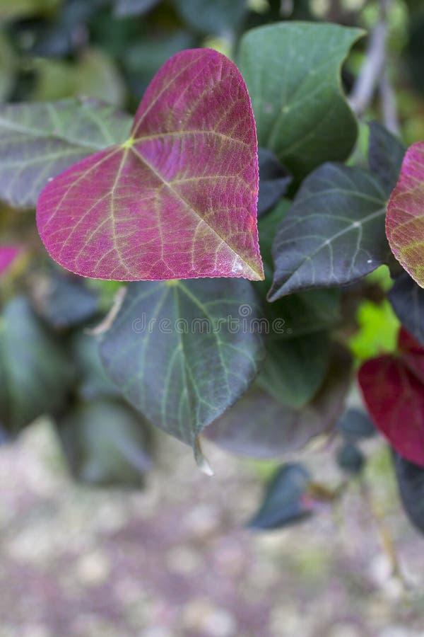 心脏的美好的紫色叶子形状 库存图片