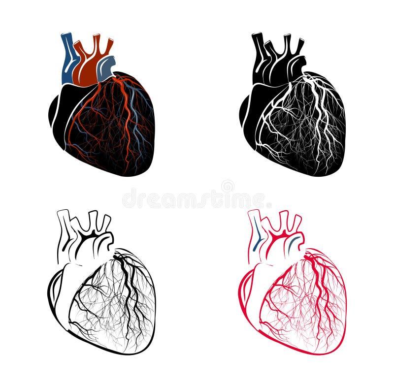 心脏的解剖学 向量例证