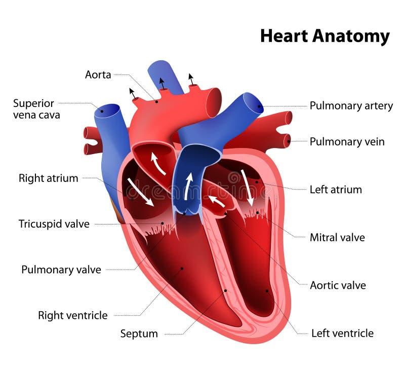 心脏解剖学 向量例证