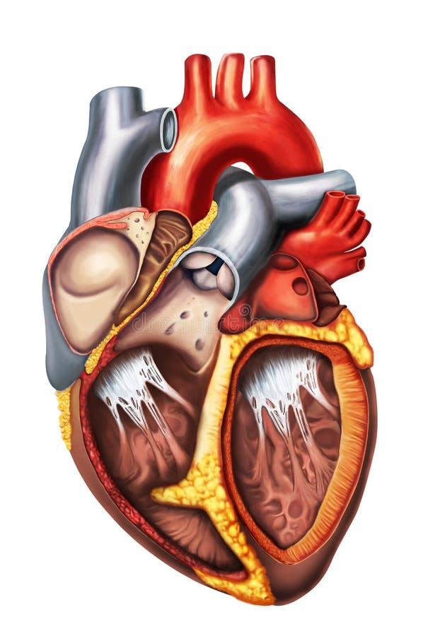 心脏解剖学 库存例证