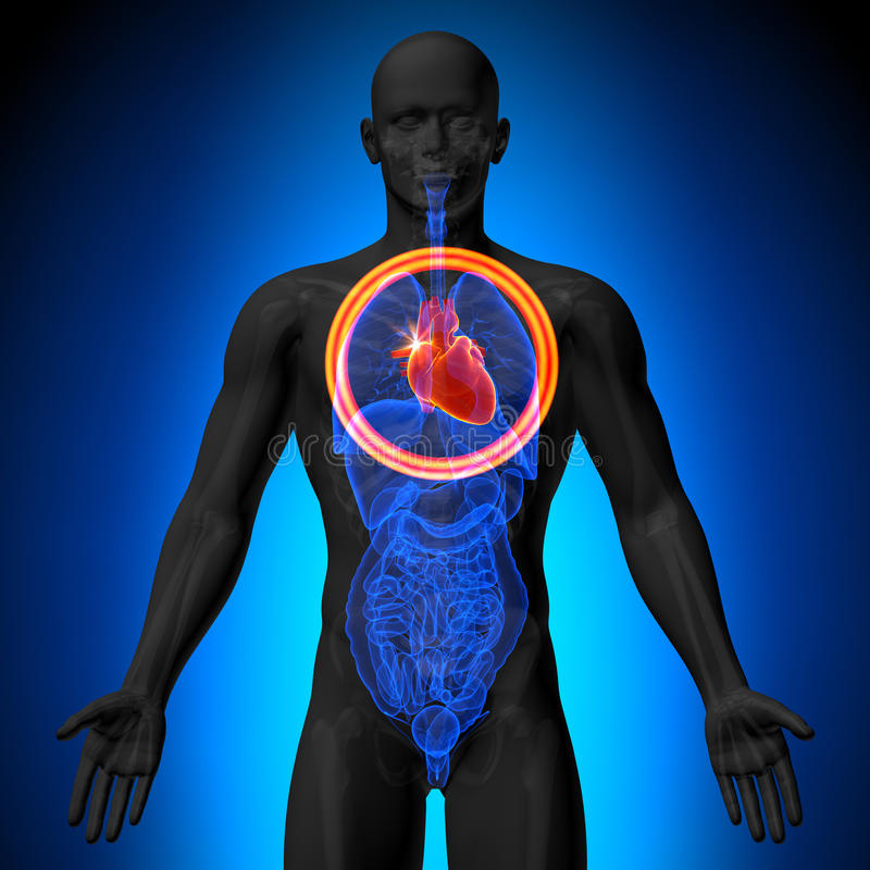 心脏-人体器官男性解剖学- X-射线视图 向量例证
